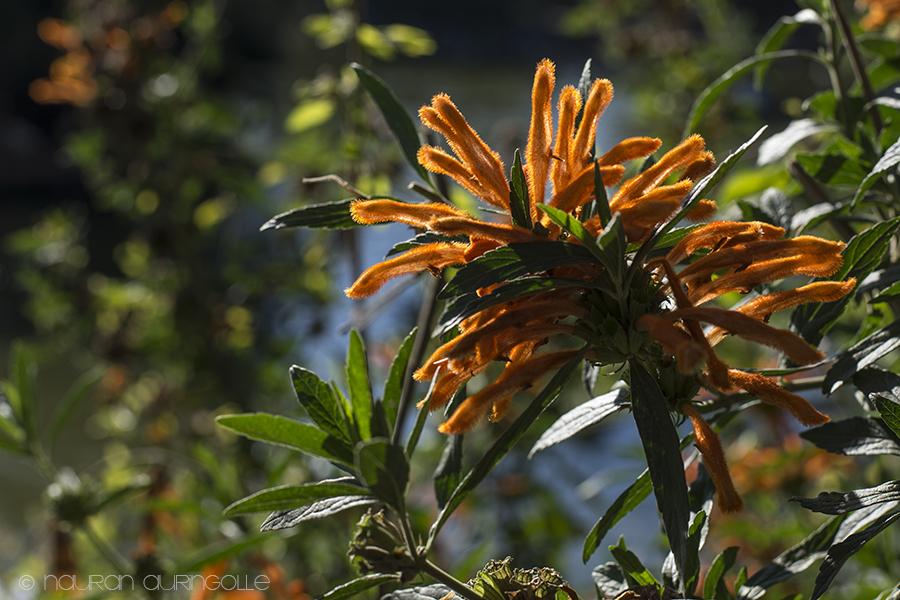 oranssi kukka auringossa