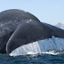 California Blue Whales Come Back