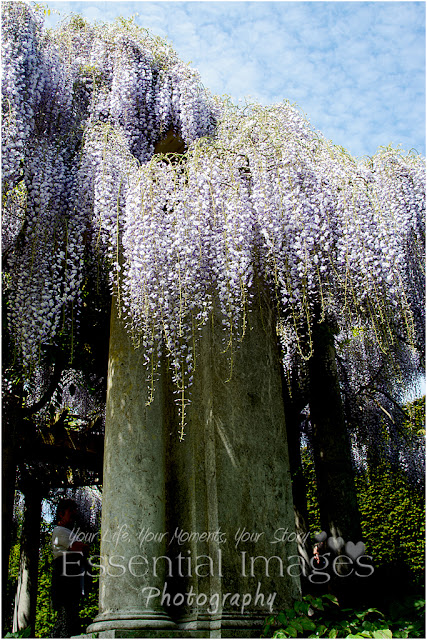 Fabulous wisteria was like a waterfall