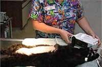 Teknik Operasi Cystotomy pada Hewan