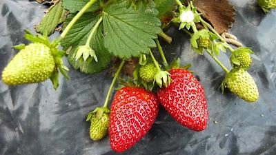 acolchado fresas
