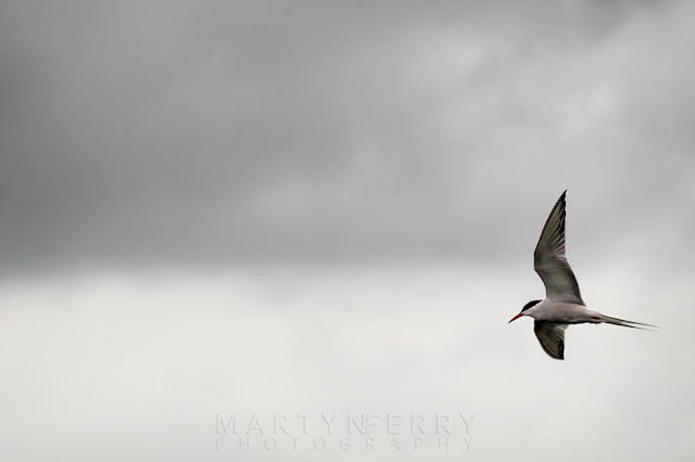Bird photography of a Common tern in flight