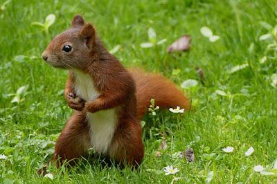 Wiese, rotes Eichhörnchen, nett, Tier