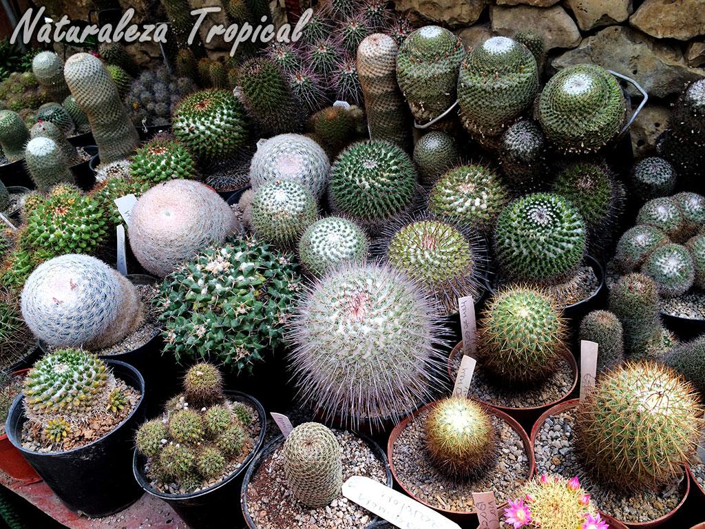 Naturaleza tropical ventajas y desventajas de tener for Donde venden cactus