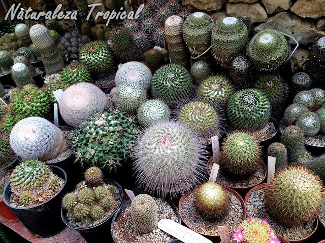 Colección de cactus globosos