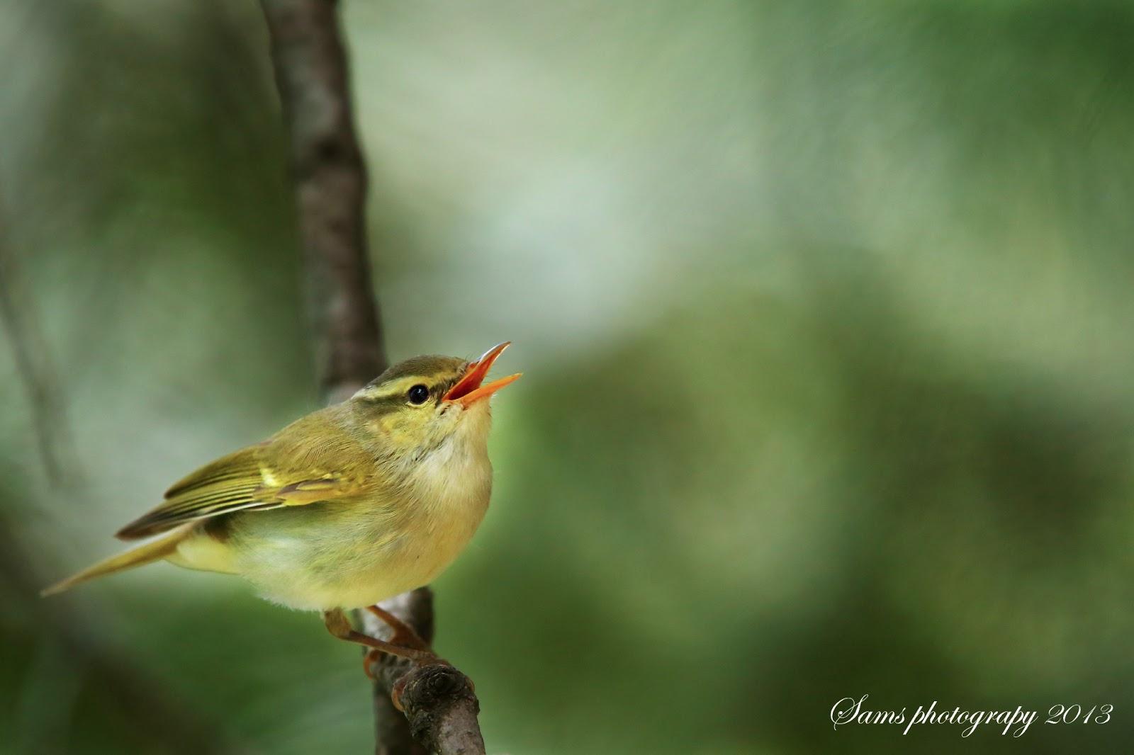 Blyth's Leaf & Western Crowned Warblers at Nathia Gali  Blyth's Lea...