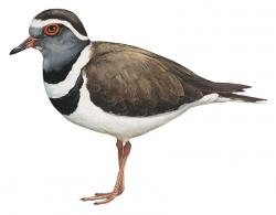 Madagascar three banded Plover