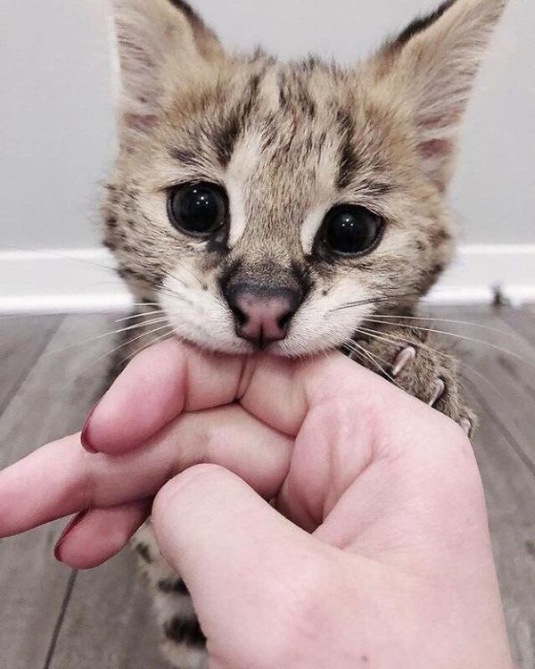Смешной милый котенок делает кусь