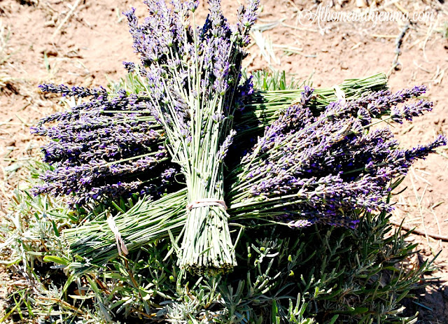 clipped and bundled lavender