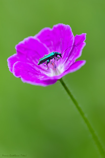 Escarabajo y flor