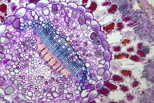 Microscope image of a pine needle cross section under the microscope at 200x.