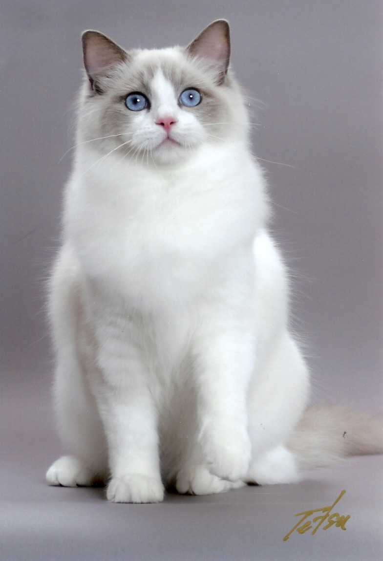 Cute White Cats And Kittens Wallpaper Ragdoll Cute Cats Cute Cats