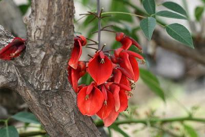 Seibo Erythrina crista-galli