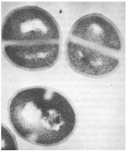 Transmission electron micrograph of S. aureus showing S. aureus cells in various stages of binary fission. (From Volk WA, Gebhardt BM, Hammarskjold ML, et al. Essentials of Medical Microbiology. 5th ed. Philadelphia, PA: Lippincott-Raven; 1996.)