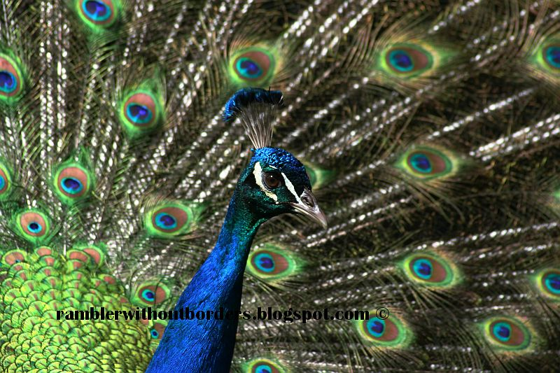 Indian Blue peacock displays its plumage to attract a peahen