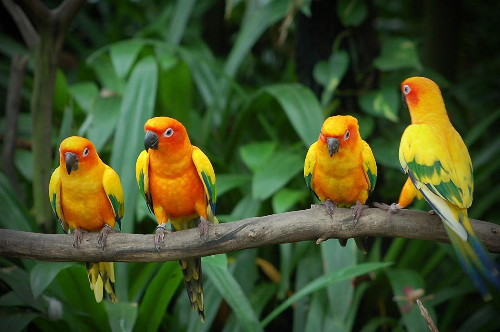 Group Of Beautiful Yellow Bird Hd