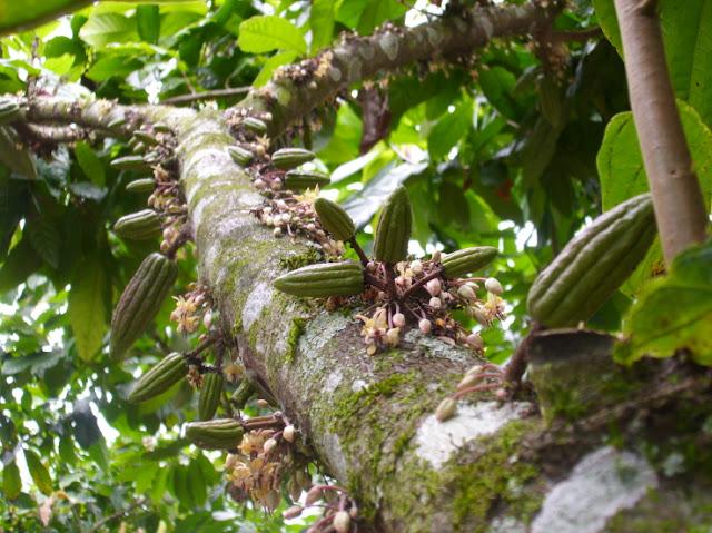 Allegagione Cacao