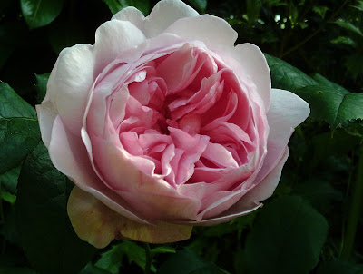 """Rosa """"Scepter D'Isle"""" flower close up"""
