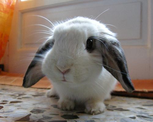 bunny bunnies rabbit rabbits bunnys fluffy para cutest adorable funny really tiny lop sweet eared very animals cutie super bunnny