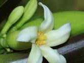 10 Manfaat Bunga Pepaya Untuk Kesehatan Yang Jarang Diketahui