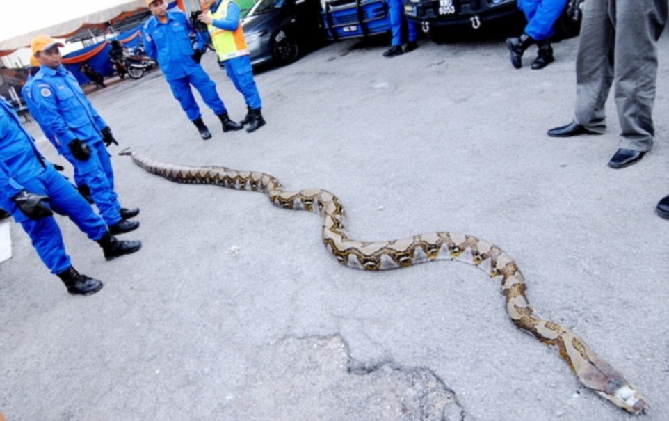 Massive Python Found In Malaysia Could Set A New Record Of ...
