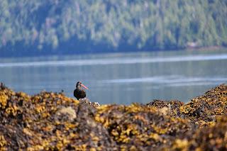 Intertidal life in Haida Gwaii