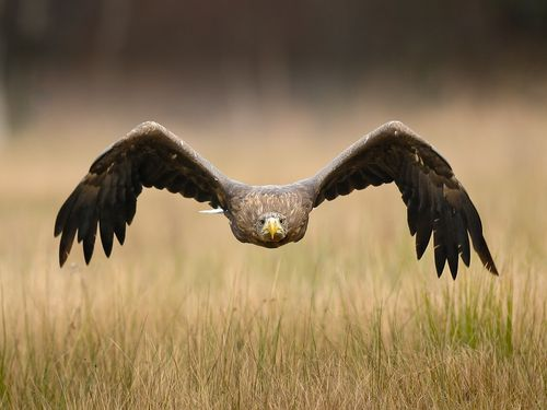 Golden Eagles Flying Wallpaper PediaPie: Broad Wings ...