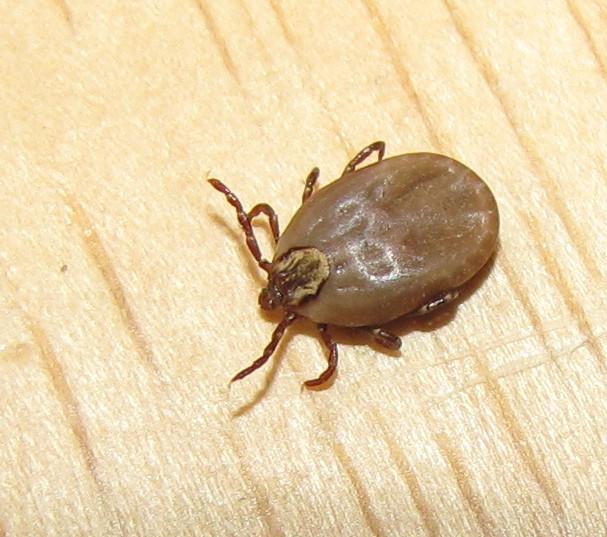 Bug Eric Ticks