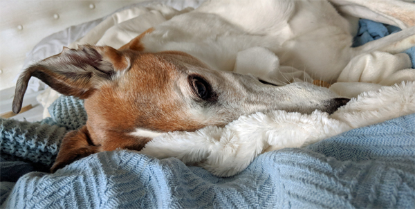 image of Dudley the Greyhound lying on our bed, snuggled into the covers