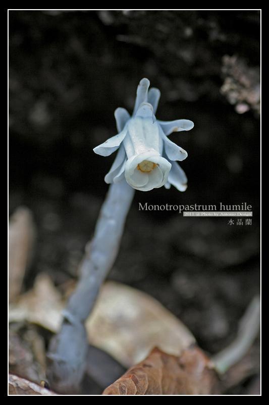 i 生態: 神出鬼沒的腐生植物-水晶蘭