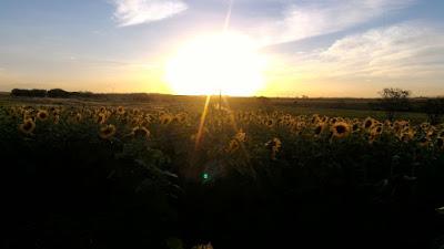 Plantação de girassóis em Itápolis - SP