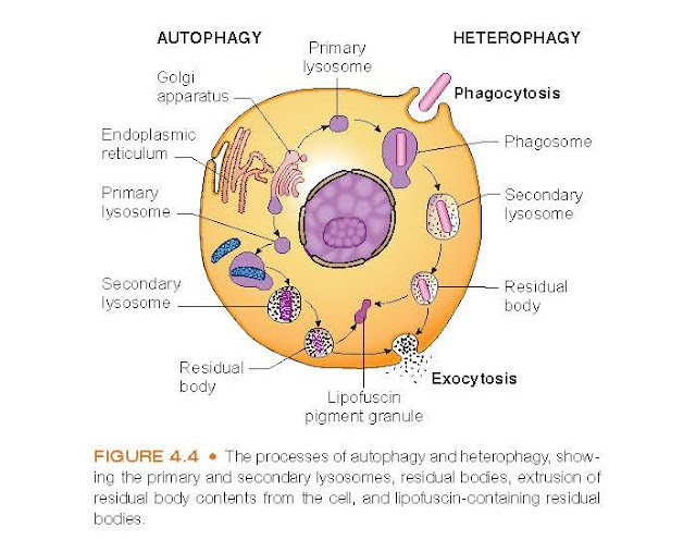 The processes of autophagy and heterophagy, showing the primary and secondary lysosomes, residual bodies, extrusion of residual body contents from the cell, and lipofuscin-containing residual bodies.