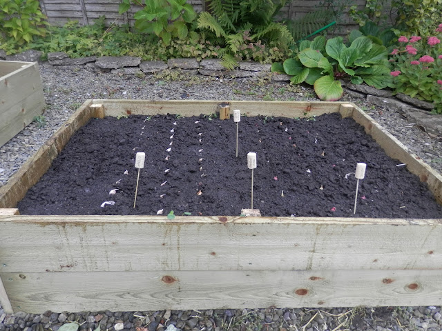 Raised bed.  Front garden. Garden, September 2015.  secondhandsusie.blogpsot.co.uk #autumngarden #ukgarden #growyourown #ukblogger