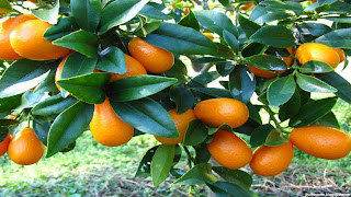 Kumquat fruit images wallpaper