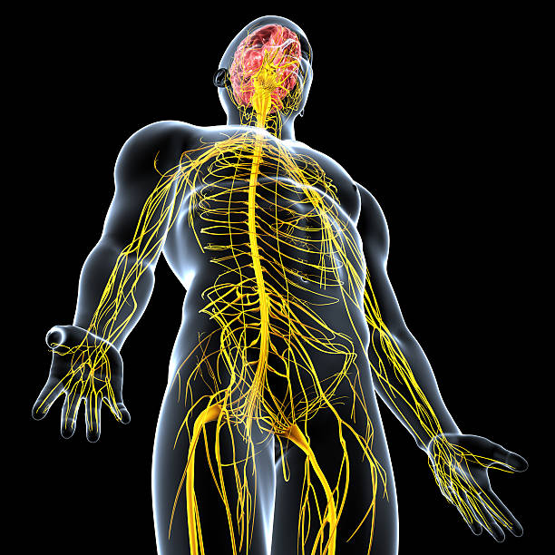 Human Nervous System – An Overview