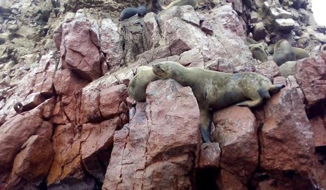 islas ballestas leoni marini