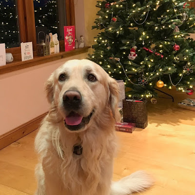 Golden retriever - Dec 2017