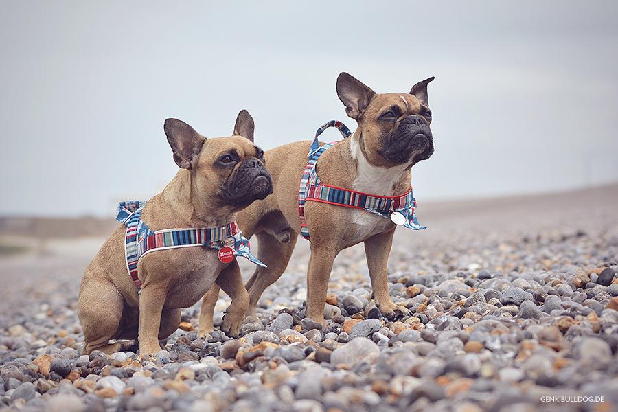 Hundbelog Genki Bulldog Strand Dieppe