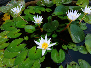 Cute White Lotus Flowers In A Small Pond At The Temple, Ringdikit Village, North Bali, Indonesia