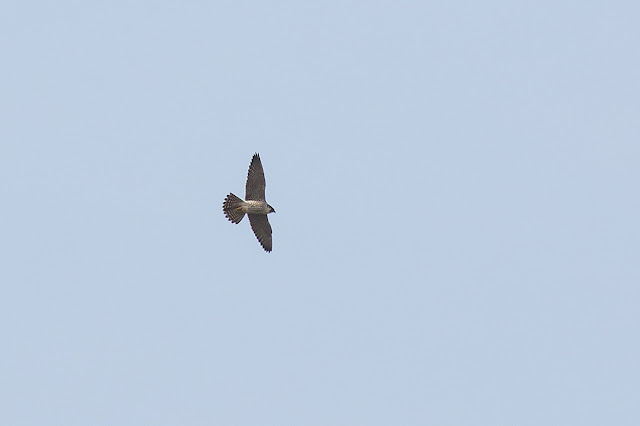 Peregrine Falcon in flight (very heavy crop)