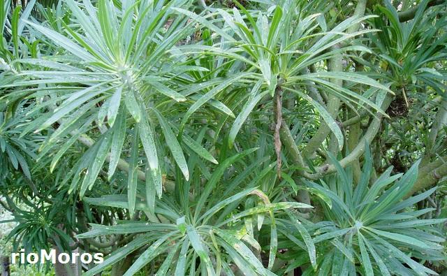 Hojas de Verode Kleinia neriifolia