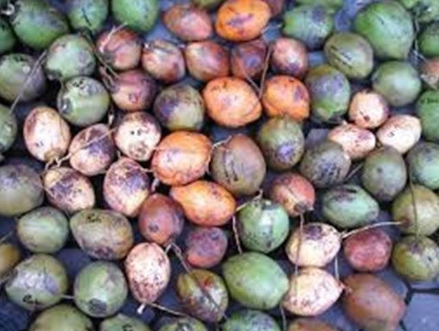 kelapa kopyor penyembuh racun dalam tubuh
