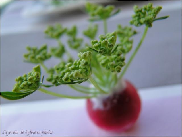 Radis et fleurs de ciboulette