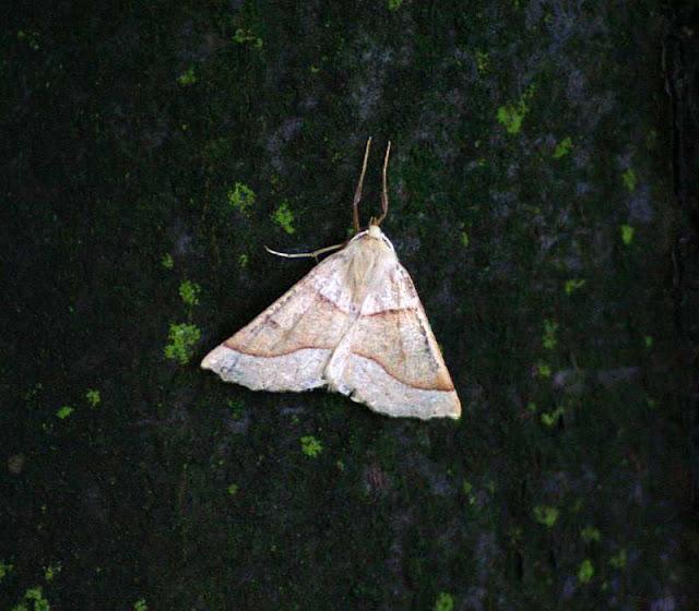 Crocallis elinguaria, Heller Schmuckspanner