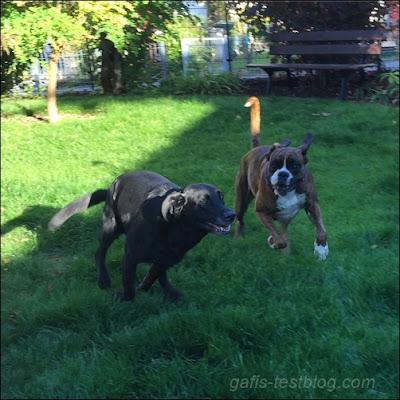 Boxer Amy und Labrador Paula