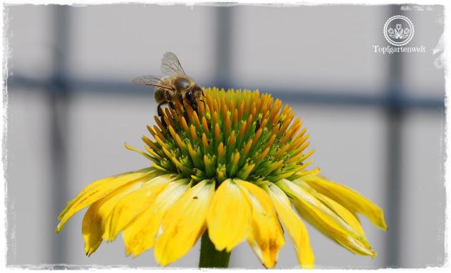 alte Staudensorten für den Garten - Biene auf Sonnenhut - Gartenblog Topfgartenwelt