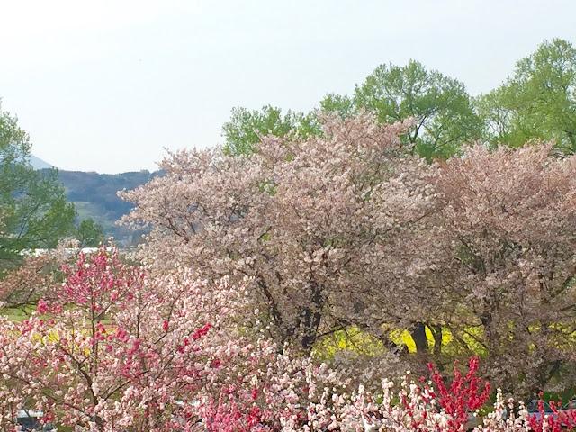 桜と桃と菜の花畑