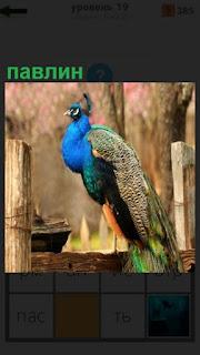сидит красивый павлин на заборе с закрытым хвостом