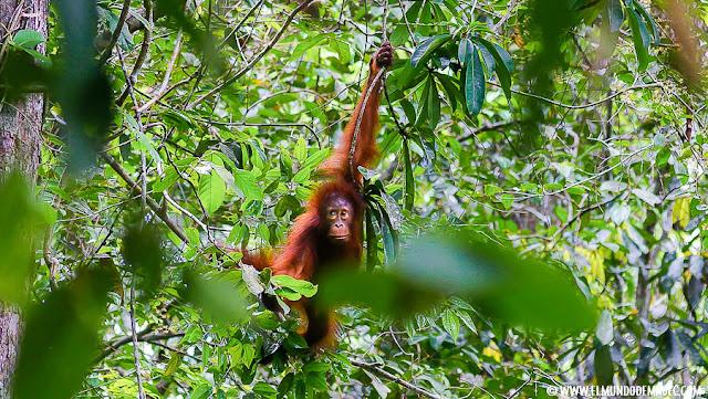 ver-orangutanes-en-borneo-sepilok-encuentro-en-medio-de-la-selva