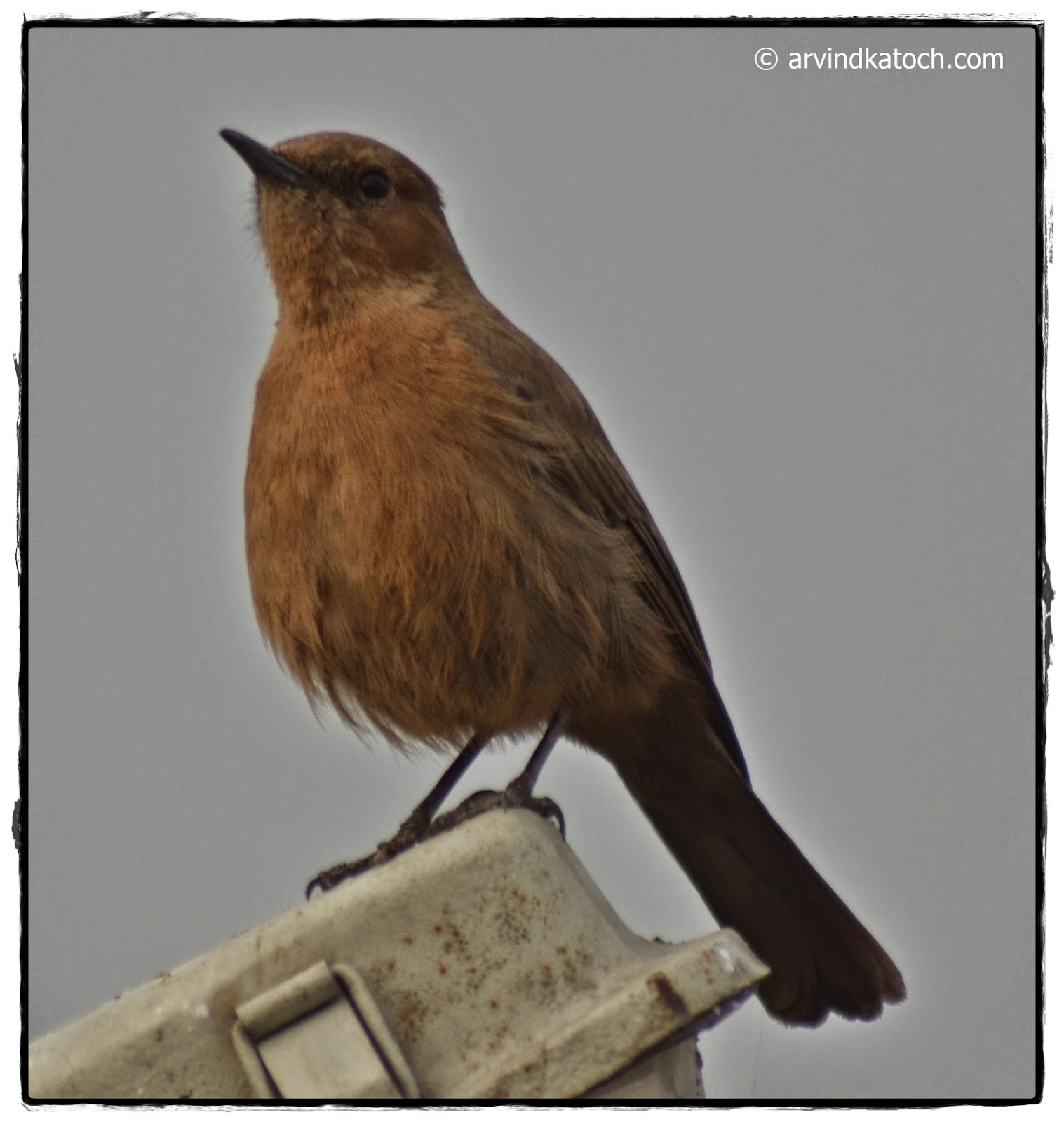 Brown Rock Chat, Close up